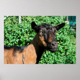 vista lateral de la gama de la cabra del oberhasli póster