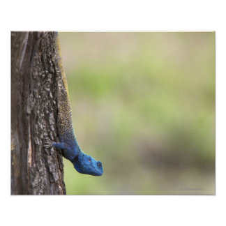 Vista lateral de un Agama del árbol (Acanthocerus Póster