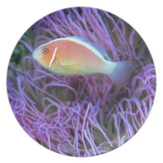 Vista lateral de un pescado de anémona rosado, Oki Platos