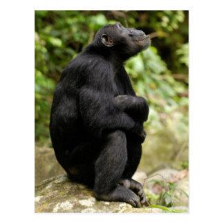 Vista lateral del chimpancé (trogloditas de la tarjetas postales