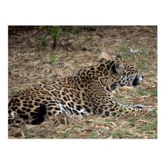 vista lateral del gruñido del gato del jaguar feli tarjeta postal