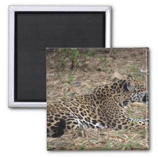 vista lateral del gruñido del gato del jaguar imán cuadrado