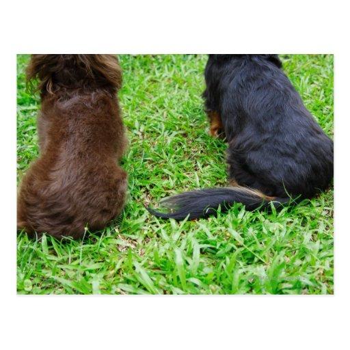 Vista posterior de dos perros del Dachshund Postal