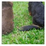 Vista posterior de dos perros del Dachshund Tejas