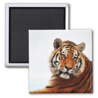 Vistazo del lado de los tigres imán cuadrado
