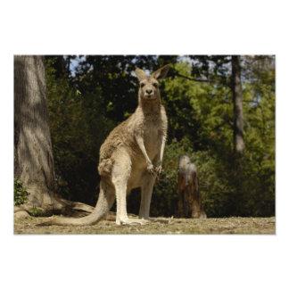 Visto lo más a menudo posible en Australia, gris d Impresion Fotografica