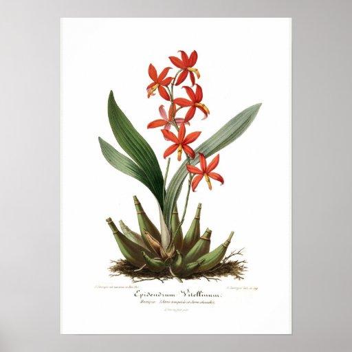 Vitellinum del Epidendrum Poster