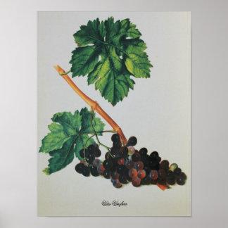 Vitis vinifera de dibujo antigua poster
