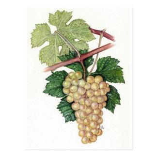 Vitis vinifera No.2 Postcard