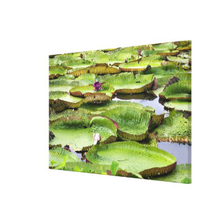 Vitoria Regis, giant water lilies in the Amazon Canvas Print