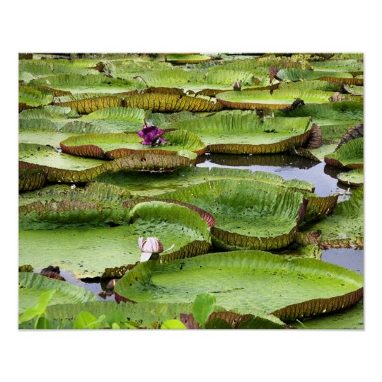 Vitoria Regis, giant water lilies in the Amazon Poster