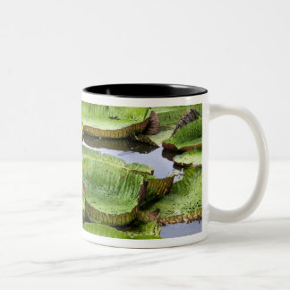 Vitoria Regis, giant water lilies in the Amazon Two-Tone Coffee Mug