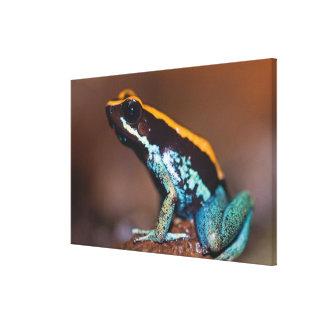 Vittatus de Phyllobates, una rana de la flecha del Impresión En Lona Estirada