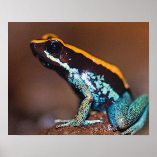Vittatus de Phyllobates, una rana de la flecha del Impresiones