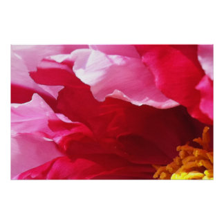 Vivd Red & Pink Tree Poppy: Large Format Print