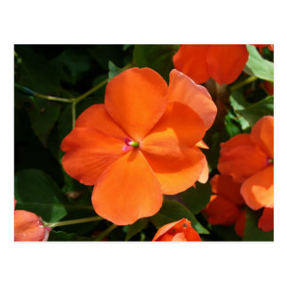 Vivid Orange Vermillion Impatiens Flower Postcard