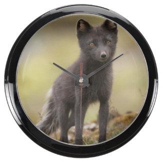 Vixen searches for food fish tank clocks