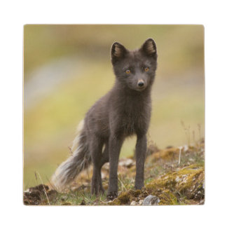 Vixen searches for food maple wood coaster