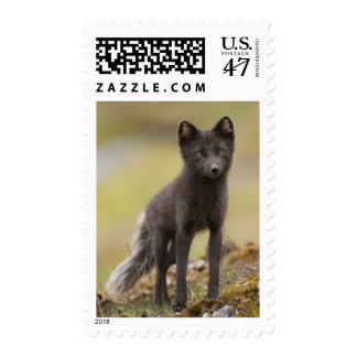 Vixen searches for food postage
