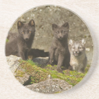 Vixen with kits outside their den beverage coasters