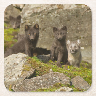 Vixen with kits outside their den square paper coaster