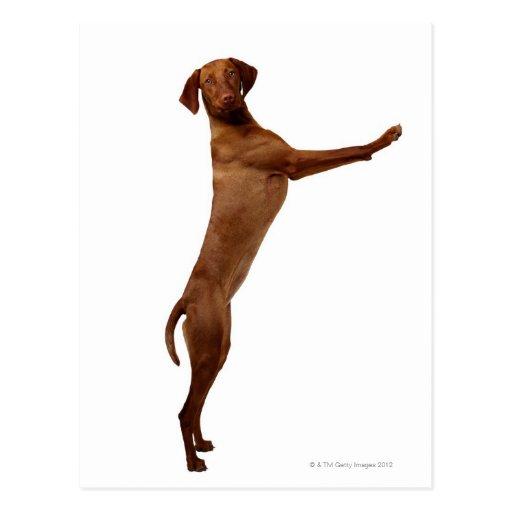 Vizsla Dog Post Card