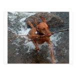 Vizsla_fetching in water.png post cards