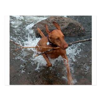 Vizsla_fetching in water.png postcard