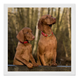 vizsla group poster