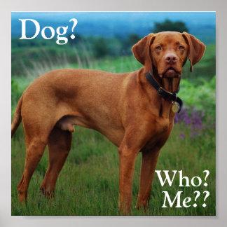 ¿Vizsla - perro? ¿, Quién? ¿, Yo?? Póster