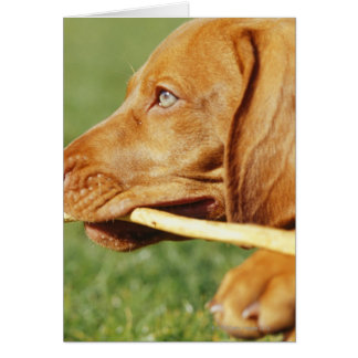 Vizsla puppy in park with stick in mouth, cards