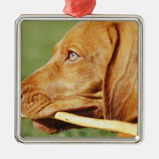 Vizsla puppy in park with stick in mouth, christmas tree ornaments