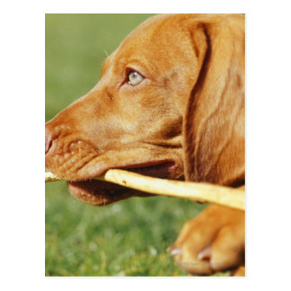 Vizsla puppy in park with stick in mouth, postcard