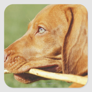 Vizsla puppy in park with stick in mouth, square sticker