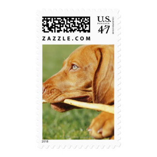 Vizsla puppy in park with stick in mouth, stamp