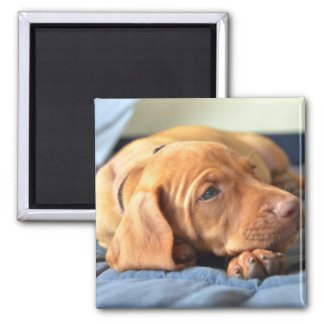 Vizsla Puppy Resting On Its Paw 2 Inch Square Magnet