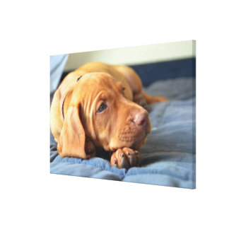 Vizsla Puppy Resting On Its Paw Canvas Print
