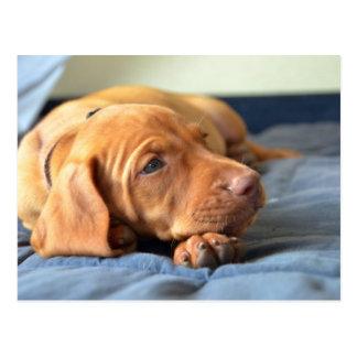 Vizsla Puppy Resting On Its Paw Postcard