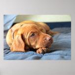 Vizsla Puppy Resting On Its Paw Poster