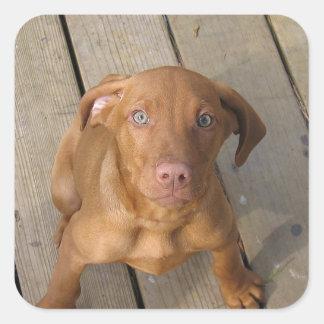 vizsla puppy square sticker