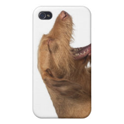 Vizsla yawning in front of white back ground iPhone 4/4S cover