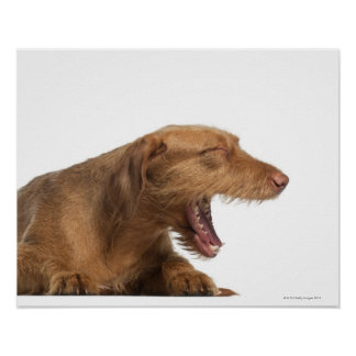 Vizsla yawning in front of white back ground poster
