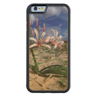 Vlei Lily (Nerine Laticoma) In Flower Carved Maple iPhone 6 Bumper Case