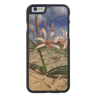 Vlei Lily (Nerine Laticoma) In Flower Carved Maple iPhone 6 Case