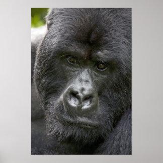 Volcanes NP Rwanda gorilas de montaña Poster
