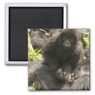 Volcanoes National Park, Mountain Gorilla, baby 2 Inch Square Magnet