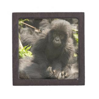 Volcanoes National Park, Mountain Gorilla, baby Premium Jewelry Box