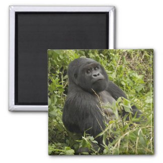 Volcanoes National Park, Mountain Gorilla 2 Inch Square Magnet