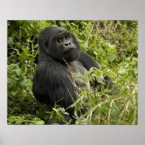 Volcanoes National Park, Mountain Gorilla Poster