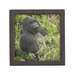 Volcanoes National Park, Mountain Gorilla Premium Gift Box